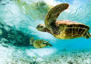 tortue en polynésie